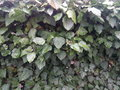 Green spring leaves of ivy on the fence Royalty Free Stock Photo