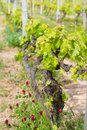 Green spring vineyard with flowers Stock Images
