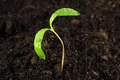 Green sprout growing from seed young Royalty Free Stock Images