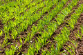 Green sprouts of winter wheat Royalty Free Stock Photo