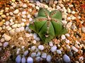 Green Star-Like Desert Plant on Ground with White Small Gravels Royalty Free Stock Photo