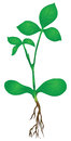 Green stem of a plant the roots vector illustration Royalty Free Stock Photo