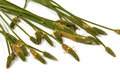 Green Stems Leaves and Mature Seed Pods of Wild Grass Royalty Free Stock Photo