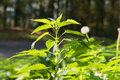 Green stinging nettle in forest Stock Photography