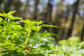 Green stinging nettle in forest Royalty Free Stock Image