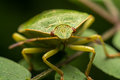 Green Stink Bug Royalty Free Stock Photo