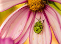 Green stink bug on a pink flower with black markings resting Stock Photo