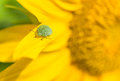 Green stink bug sitting on a leaf close up sunflower Royalty Free Stock Photography