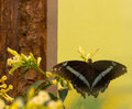 Green striped swallowtail nibbling on the nectar of the flower Royalty Free Stock Photos