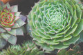 Green Succulent Plant Garden Royalty Free Stock Photo