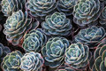Green succulents Royalty Free Stock Photo
