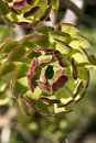 Spiral leaf pattern of an aeonium succulent plant Royalty Free Stock Photo