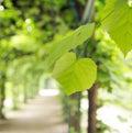 Green summer leaves in the green garden fresh Stock Images