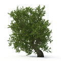 Green summer old maple tree isolated on white. 3D illustration Royalty Free Stock Photo