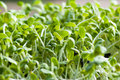Green sunflower sprout Royalty Free Stock Photo