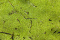 Green swamp detail water hole detailed vegetation tree leaves covering in wildlife nature reserve Royalty Free Stock Images