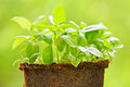 Green sweet basil plant Stock Photo