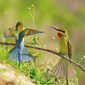 Green tailed bee eater pair beautiful taken in thailand Royalty Free Stock Photo