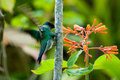 Green-tailed Trainbearer Royalty Free Stock Image