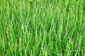 Green tall grass - natural background Stock Photos