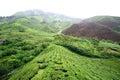 Green tea farm Royalty Free Stock Photo
