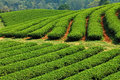 Green tea farm roll and curve of Stock Photo