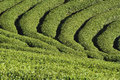 Green tea field farm at north of thailand Stock Images