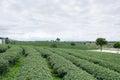 Green tea field Royalty Free Stock Photo