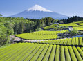 Green tea Fields Royalty Free Stock Photo
