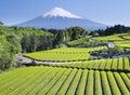 Verde tè campi