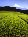 Green Tea Fields Stock Image