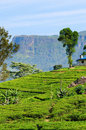 Green tea fields on highlands Stock Photography