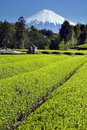 Green tea Fields III Stock Images