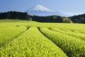 Zelený čaj poľa