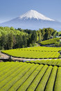 Green Tea Fields V Stock Photography