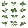 Verde tè foglia