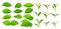 Green tea leaf and green leaves on white background Royalty Free Stock Photo