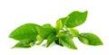 Green Tea Leaf Isolated On Whi...
