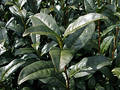 Green tea plant Stock Image