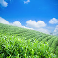 Green tea plantation Royalty Free Stock Image