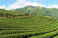 Green tea plantations garden on the hill thailand Stock Photo