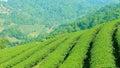Green Tea Plantations On The M...