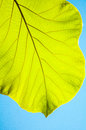 Green teak leaves against blue sky Stock Image