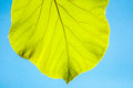 Green teak leaves against blue sky beautiful Royalty Free Stock Photography