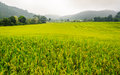 Green terraced rice field in chiangmai thailand Royalty Free Stock Images
