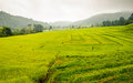 Green terraced rice field in chiangmai thailand Royalty Free Stock Image