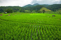 Green terraced riced field in the morning Royalty Free Stock Photos