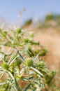 Green thistle in a field of wheat selective focus Royalty Free Stock Photo