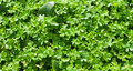 Green three leaf clovers Stock Photo