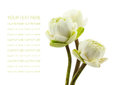 Green three lotus flowers blossom isolated on white background petal of the Royalty Free Stock Images